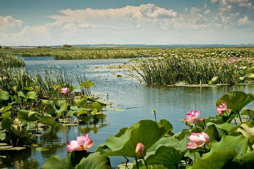 Краснодарский край. Озеро лотосов